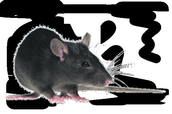 Jaar van de rat: goed jaar voor het milieu?