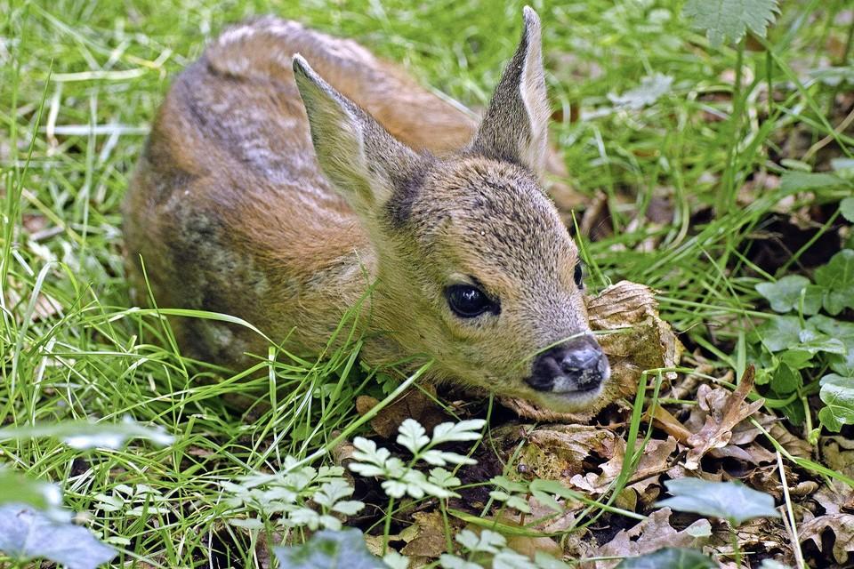 Als reekalfjes nog klein zijn blijven ze in het bos of weiland achter als de reegeit voedsel gaat zoeken.