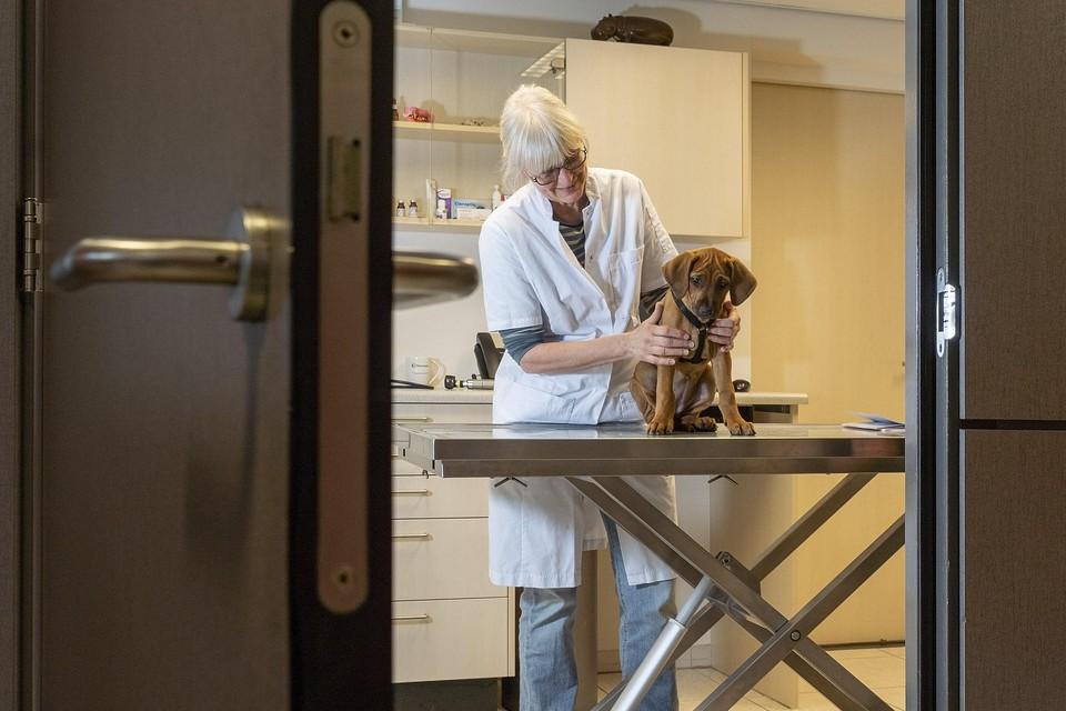 Illegale pups belanden vaak op de dierenartstafel, omdat ze niet zijn ingeënt en ziek blijken. De hond op deze foto is overigens kerngezond en niet uit het buitenland gehaald.