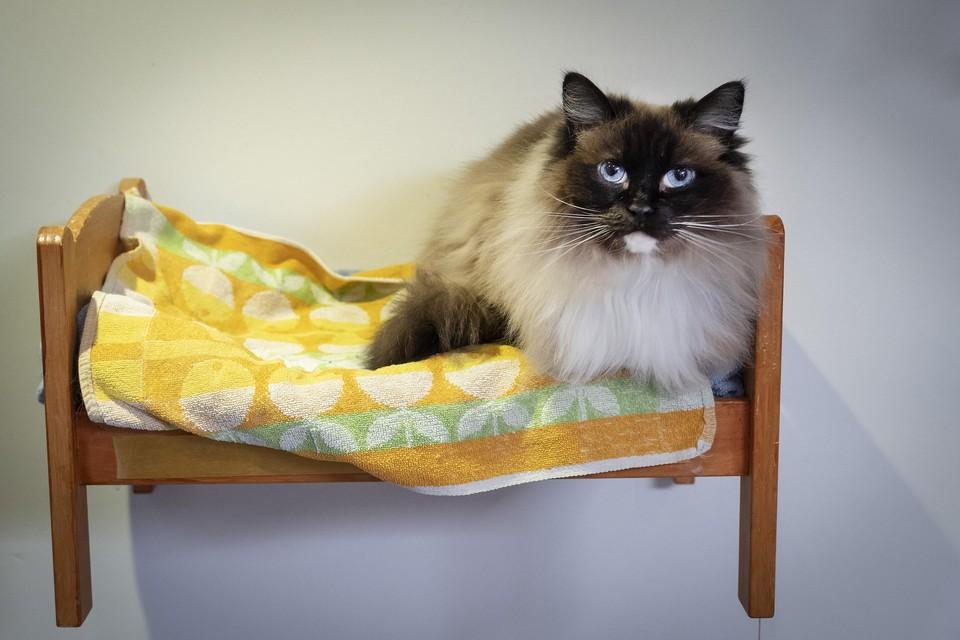 Manouschka, een van de bewoners van Jippies Kattencafé