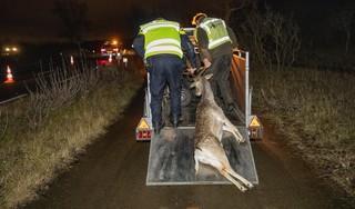 Minder botsingen met herten op Zeeweg door avondklok. Mannetjesherten steken vaker over dan hindes