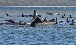 Reddingspoging voor 180 gestrande walvissen bij Tasmanië