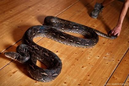 Python bewaakte Belgische hennepplantage