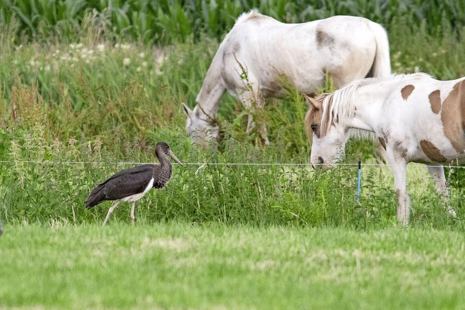 De zwarte ooieaar kleppert niet, maar maakt een knarsend geluid.