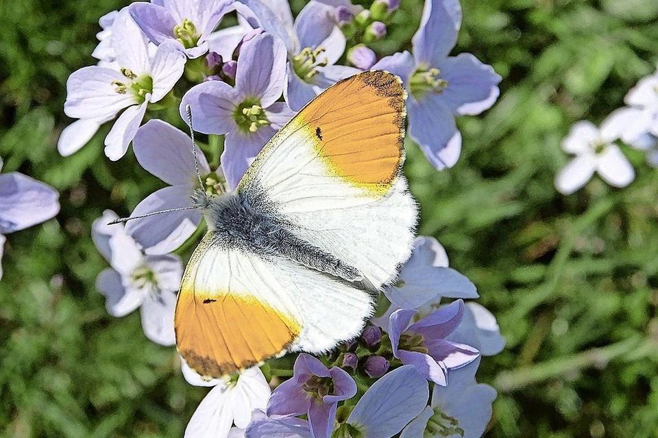 Een vlinder met de naam oranjetipje op pinksterbloem.