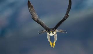 Hoger dan een vliegtuig en sneller dan een F1-wagen: vogels zetten duizelingwekkende records neer tijdens de vogeltrek