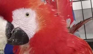 Eenzame ara Nape uit de boom gekukeld; actie op touw gezet om verzwakte vogel te redden