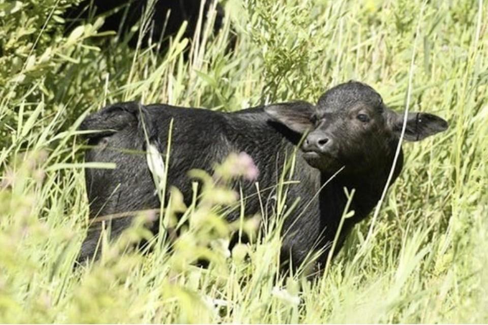 Een van de twee kalfjes die in het nieuwe natuurgebied bij Muiden zijn geboren.