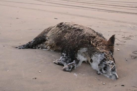 Mysterie van aangespoelde wilde zwijnen langs de kust: 'Misschien zijn ze in Frankrijk van een klif gedonderd?'