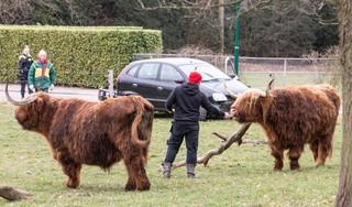 Oude ossen krijgen schrik van hun leven; auto crasht in Baarnse Rusthoekweide vol Schotse hooglanders