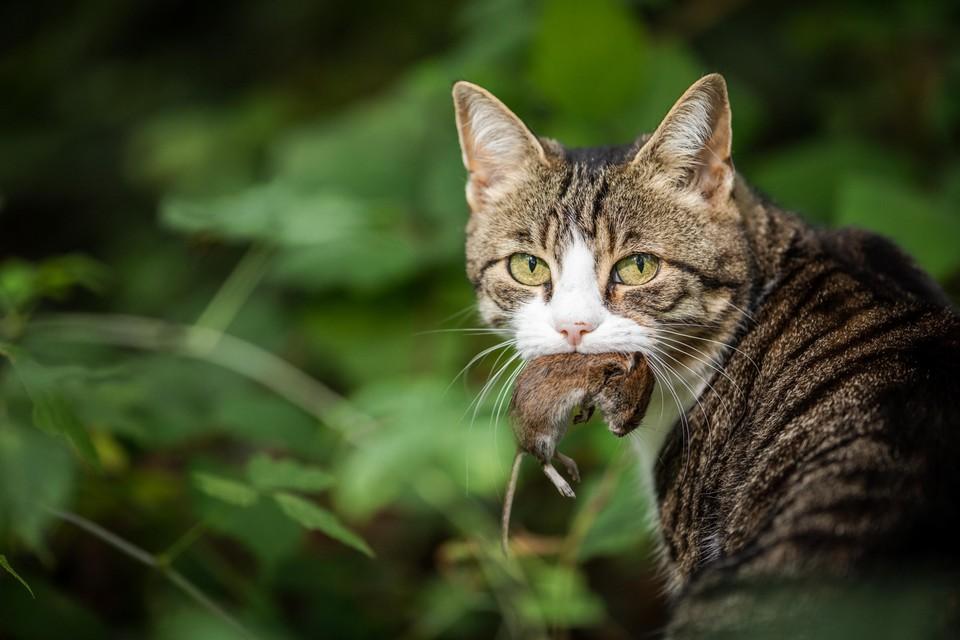 Als katten muizen vangen wordt dat meestal toegejuicht. Maar muizen zijn voedsel voor veel andere dieren.
