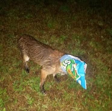 Dierenambulance Velsen redt in chipszak verstrikte vos