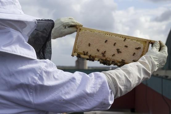 Honingbijen doen het uitstekend op dak Radisson Blu Palace Hotel in Noordwijk