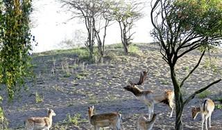 Streefpopulatie damherten komt in zicht door afschot 2500 beesten. 'Gelukkig hebben bezoekers in het duingebied nooit de loop van een geweer gezien'