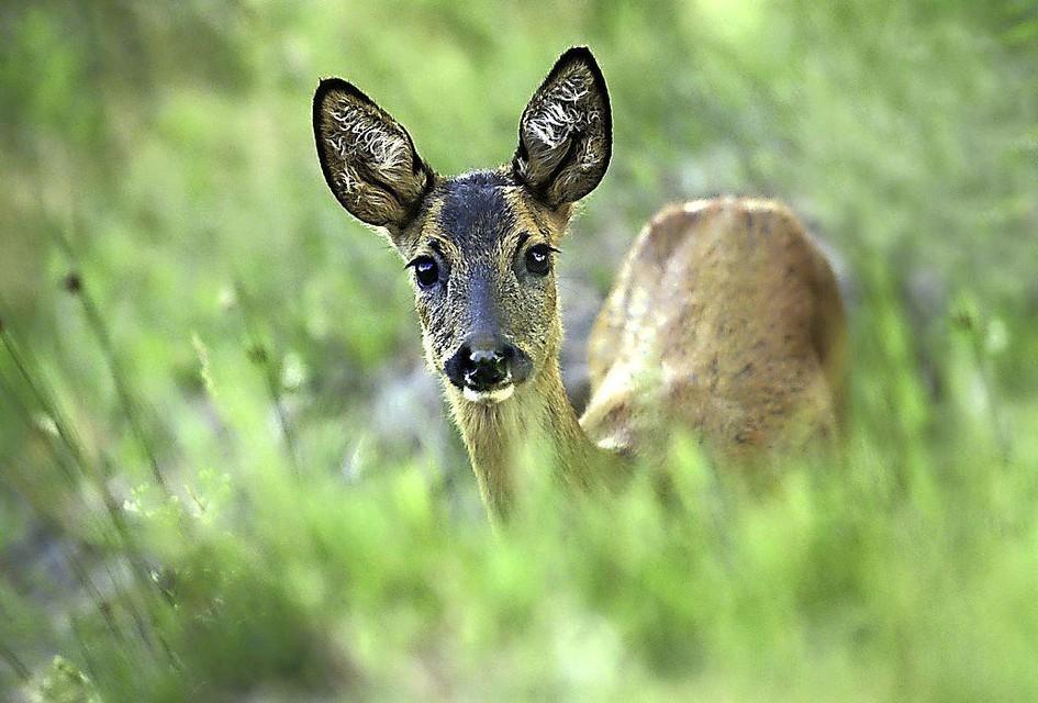 Reeën zijn schuw: Je hoort gekraak in de bosjes, je kijkt en ziet nog net iets bruins in de verte verdwijnen.