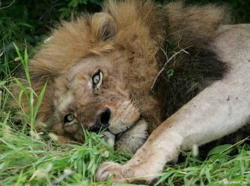 Simba de Leeuw uit Bagdad geland