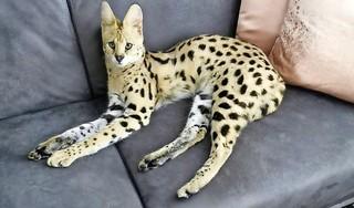 Serval Bella uit het Rozenprieel is weer terecht [update]