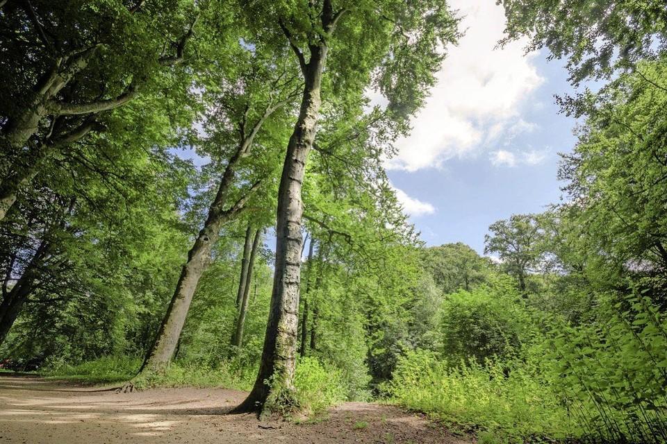 De beuk op Buitenplaats Velserbeek zou door de inkepingen die de Duitsers er tijdens de Tweede Wereldoorlog in maakten een flinke knauw hebben gekregen.