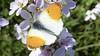 Over pinksterbloemen en oranjetipjes, een onafscheidelijk duo | column Geeke Remmelts