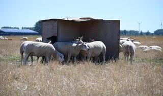 Steekproef Wakker Dier: Driekwart van schapen in Noord-Holland heeft geen schaduw. 'Een dier is dan echt aan het lijden'