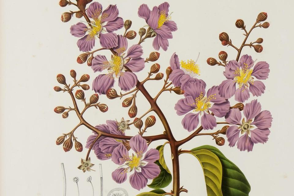 Lagerstroemia speciosa uit: Bertha Hoola van Nooten, Fleurs, fruits et feuillages choisis de la Flore et de la Pomone de l'île de Java, peints d'après nature. 1863.