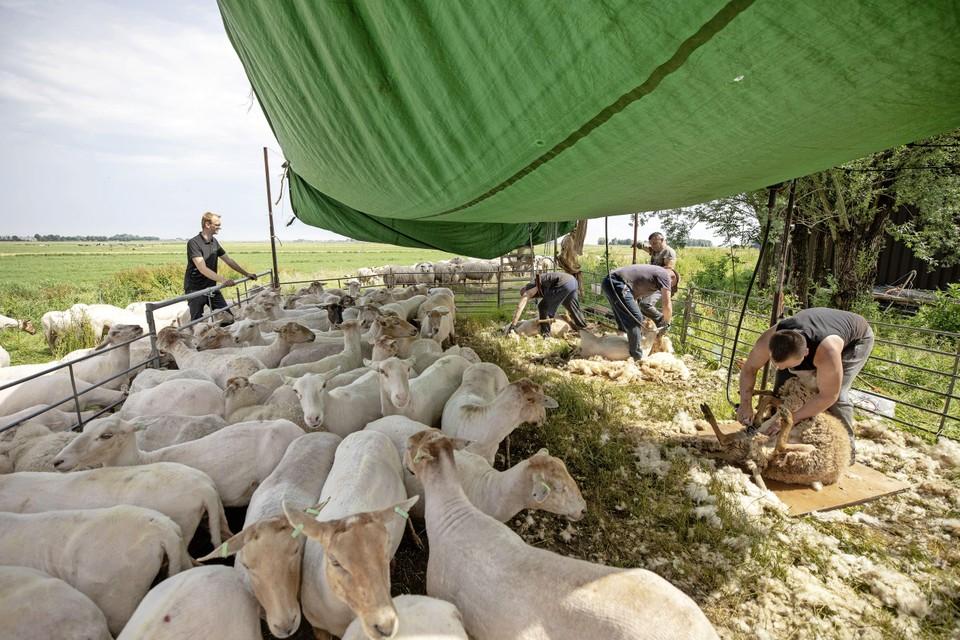 In een razend tempo worden de schapen van hun vacht bevrijd. Harmen Wijnne kijkt toe en ziet dat het goed gaat.