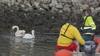 Misvormde en gewonde zwaan na meerdere pogingen gered in de jachthaven van IJmuiden aan Zee